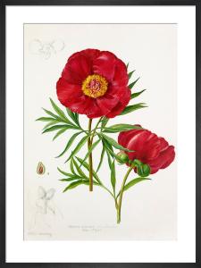 Paeonia anomala var. intermedia by Lillian Snelling