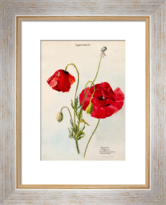 Papaveraceae. Papaver. P.Rhoeas. Common Poppy, Corn Rose by Lillian Snelling