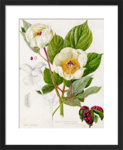 Paeonia whittmanniana by Lillian Snelling