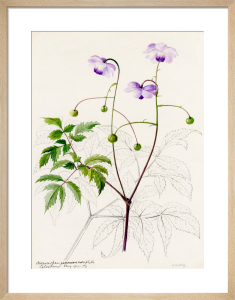 Anemonopsis macrophylla by Lillian Snelling