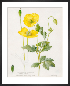 Meconopsis cambrica (Welsh Poppy) by Lillian Snelling