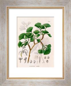 Salisburia adianthifolia by Dr PH.FR. de Siebold