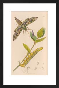 Daphnis nerii by John Curtis