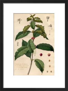 Jasminum Arabicum by Claude Aubriet