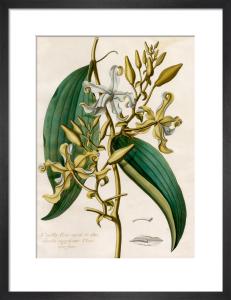 Vanilla flore viridi et albo by Claude Aubriet