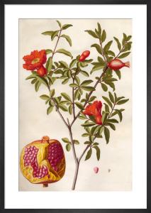 Punica granatum by Claude Aubriet