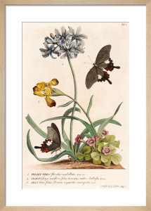 1. Polyanthes, 2. Oxalis, 3. Iris by George Dionysus Ehret