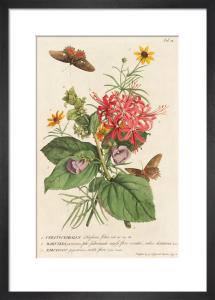 1.Ceratocephalus, 2. Martynia, 3. Narcissus by Georg Dionysus Ehret
