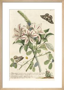 1.Sherardia, 2. Lilio-Narcissus, 3. Arachidna by George Dionysus Ehret