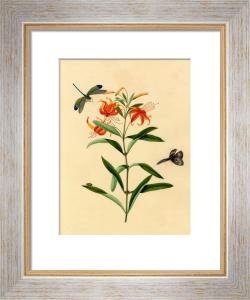 Lilium tigrinum by Anonymous