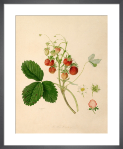 The Pine Strawberry by William Hooker