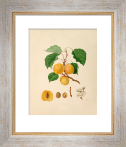 The Breda Apricot by William Hooker