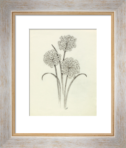 Allium oreophilum by Cynthia Newsome-Taylor