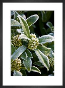 Skimmia x confusa 'Kew Green' by Mark Bolton