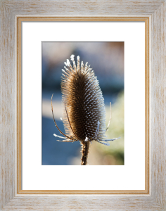 Dipsacus fullonum by Mark Bolton