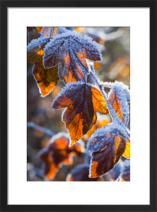 Acer Leaves by Mark Bolton