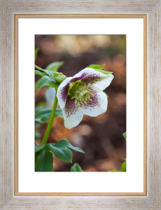Helleborus by Mark Bolton