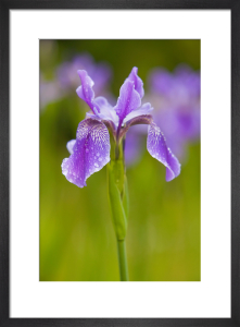 Iris siberica by Lee Beel