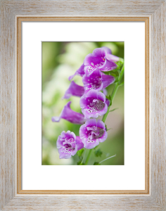 Digitalis purpurea by Lee Beel