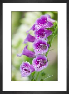 Digitalis purpurea by Lee Beel