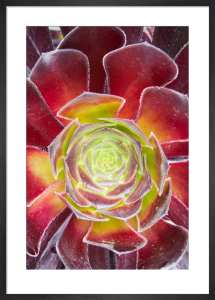 Aeonium 'Zwartkop' by Lee Beel