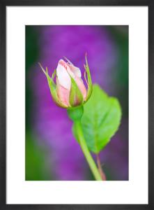 Rosa (Saint Cecilia) = 'Ausmit' by Lee Beel