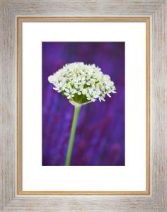 Allium nigrum by Lee Beel