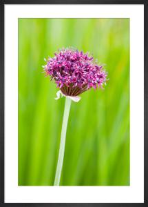 Allium atropurpureum by Lee Beel