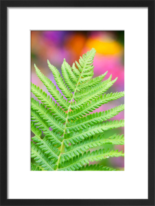 Dryopteris cristata by Lee Beel