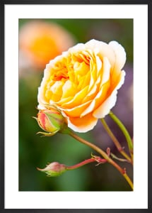 Rosa (Crown Princess Margareta) = 'Auswinter' by Lee Beel