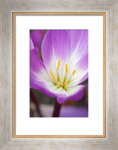 Colchicum 'Glory of Heemstede' by Carol Sheppard