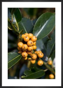 Ilex aquifolium 'Pyramidalis Fructu Luteo' by Carol Sheppard