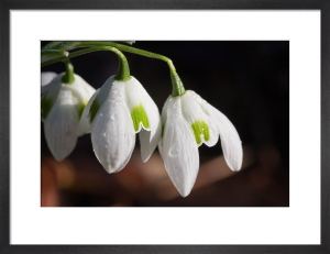 Galanthus Greatorex double by Carol Sheppard