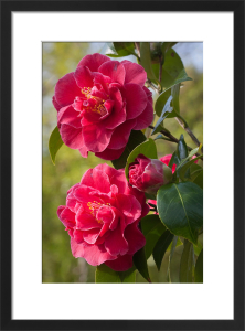 Camellia x williamsii 'William Carlyon' by Carol Sheppard