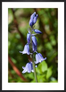 Hyacinthoides x massartiana by Carol Sheppard
