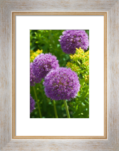 Allium 'His Excellency' (I) by Carol Sheppard