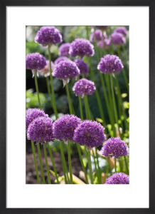 Allium 'His Excellency' (II) by Carol Sheppard