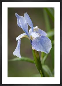 Iris ensata 'Shunsou-no-yume' by Carol Sheppard