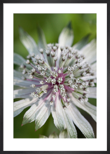 Astrantia major subsp. involucrata 'Moira Reid' by Carol Sheppard