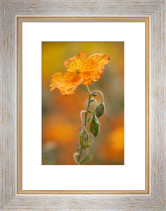Helianthemum 'Welsh Flame' by Carol Sheppard