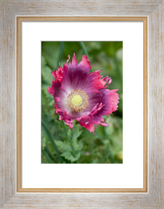 Papaver somniferum by Carol Sheppard