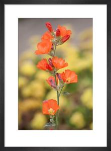 Sphaeralcea parvifolia by Carol Sheppard