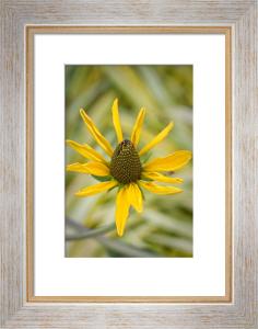 Rudbeckia maxima by Carol Sheppard
