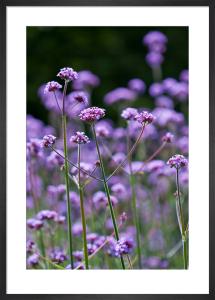 Verbena bonariensis by Carol Sheppard