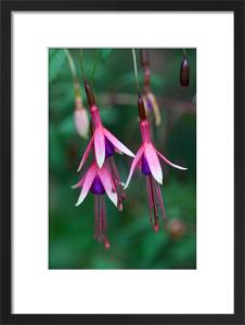 Fuchsia magellanica 'Logan Woods' by Carol Sheppard