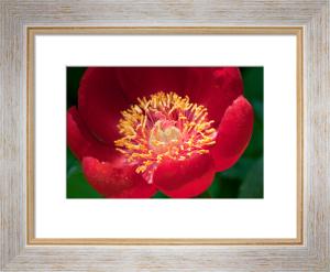 Paeonia peregrina by Carol Sheppard