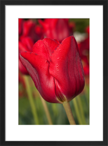 Tulipa 'Bastogne' by Carol Sheppard