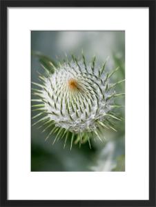 Onopordum acanthium by Carol Sheppard