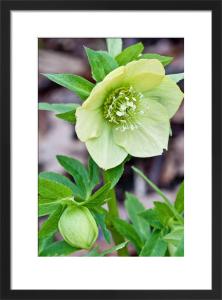 Helleborus x hybridus Ashwood Garden hybrids by Carol Sheppard