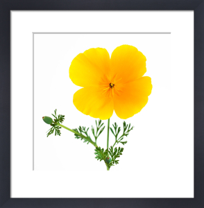 California Poppy by Deborah Schenck